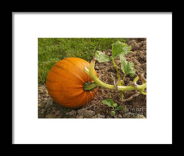 Pumpkin Framed Print featuring the photograph Ripe Pumpkin by Louise Heusinkveld