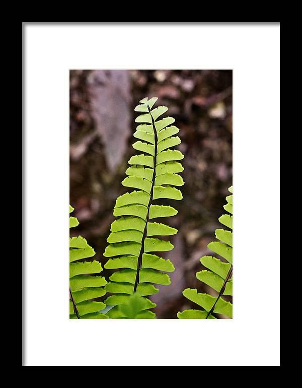 Fern Framed Print featuring the photograph Rising Fern 1 by Douglas Barnett