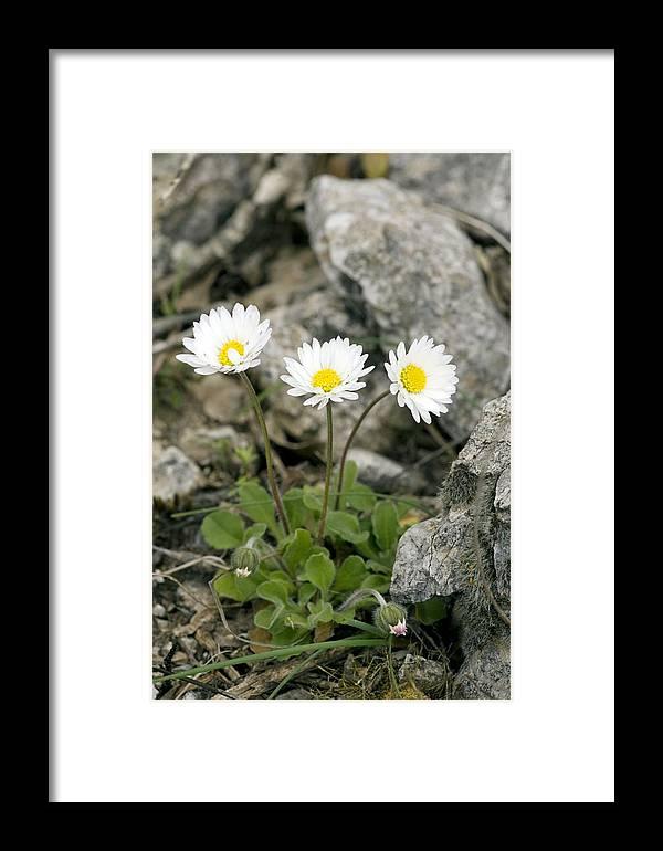 Rock-plant Daisy Framed Print featuring the photograph Rock-plant Daisy (bellis Margaraetifolia) by Bob Gibbons