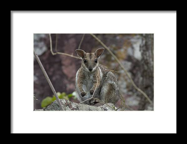 Rock Wallaby Framed Print featuring the photograph Rock Wallaby V2 by Douglas Barnard