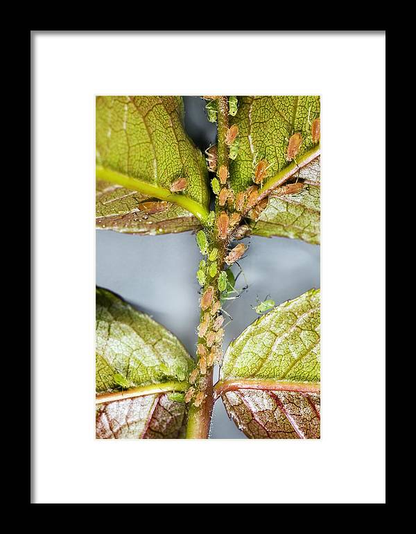Rose Framed Print featuring the photograph Rose Aphids by Dr Keith Wheeler