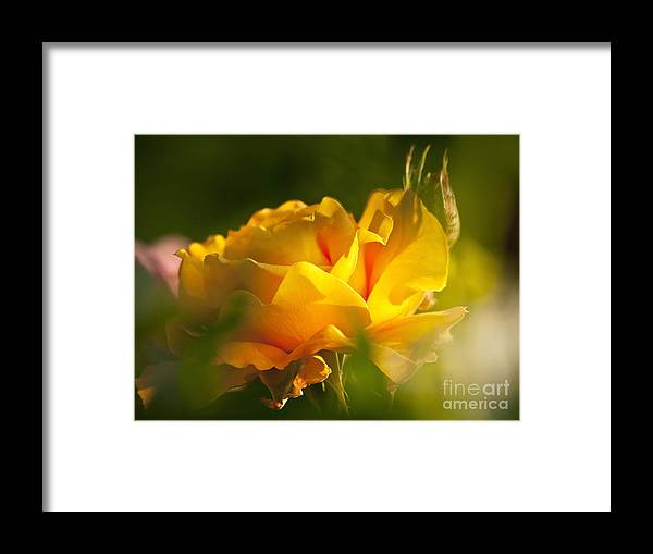 Rose Framed Print featuring the photograph Rose Blossom by Heiko Koehrer-Wagner