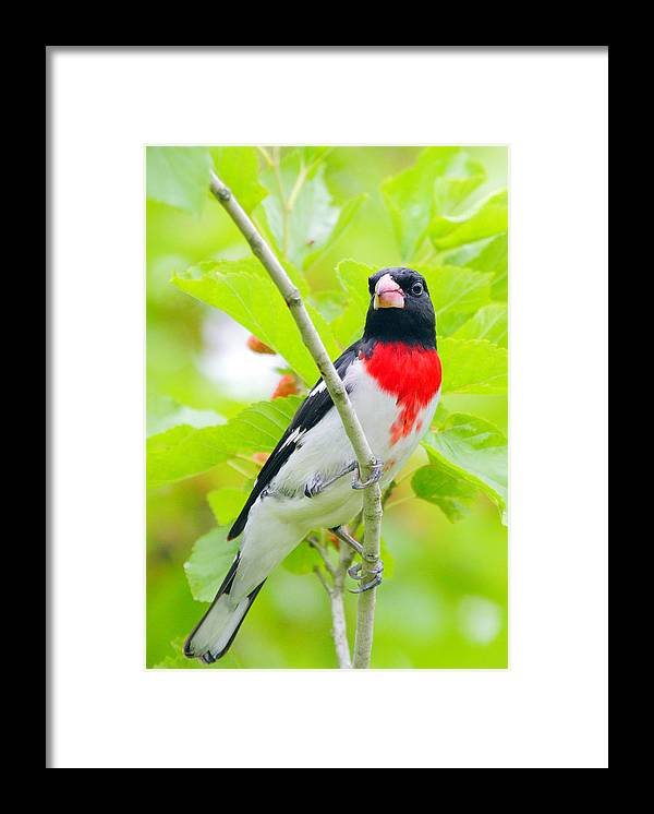 Rose-breasted Grosbeak Framed Print featuring the photograph Rose-breasted Grosbeak by Andrew McInnes