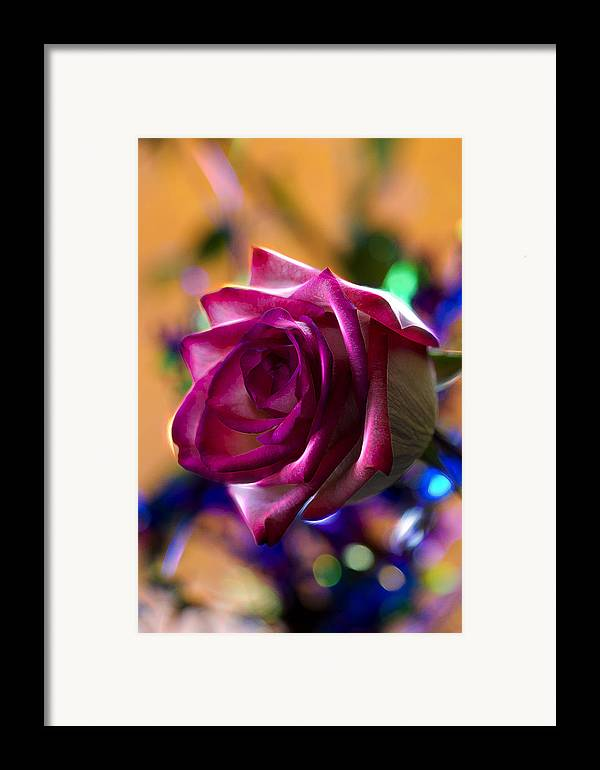 Rose Framed Print featuring the photograph Rose Celebration by Bill Tiepelman