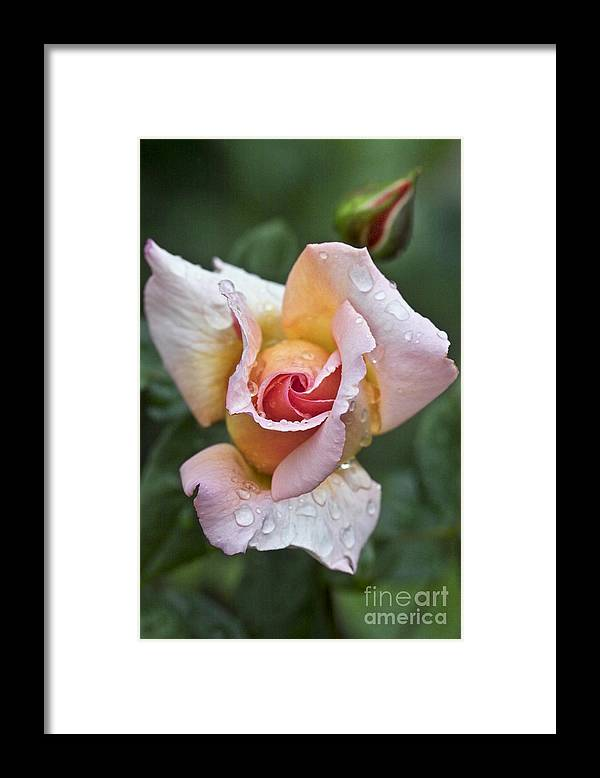 Rose Framed Print featuring the photograph Rose Flower Series 11 by Heiko Koehrer-Wagner