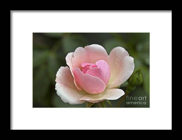 Rose Framed Print featuring the photograph Rose Flower Series 12 by Heiko Koehrer-Wagner