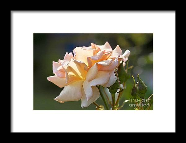 Rose Framed Print featuring the photograph Rose Flower Series 15 by Heiko Koehrer-Wagner