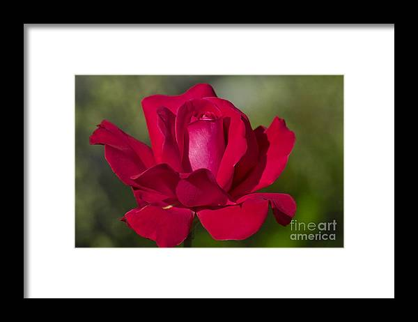 Rose Framed Print featuring the photograph Rose Flower Series 2 by Heiko Koehrer-Wagner