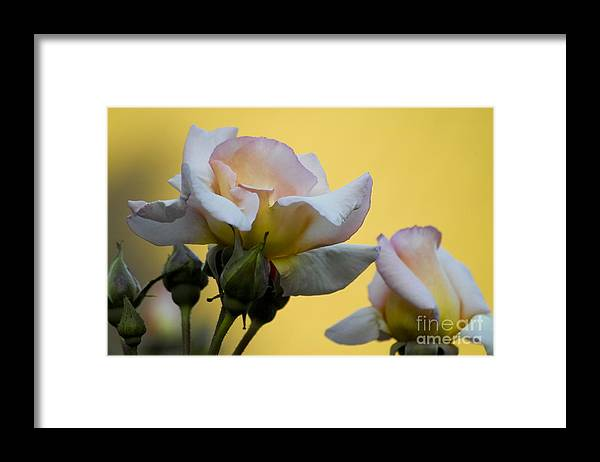 Rose Framed Print featuring the photograph Rose Flower Series 3 by Heiko Koehrer-Wagner