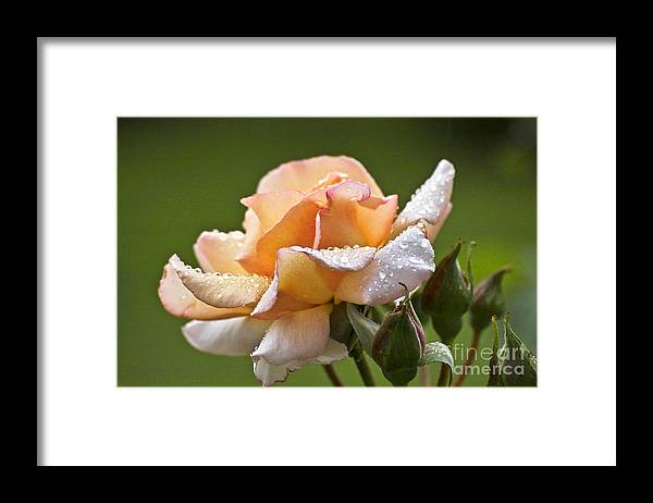 Rose Framed Print featuring the photograph Rose Flower Series 4 by Heiko Koehrer-Wagner