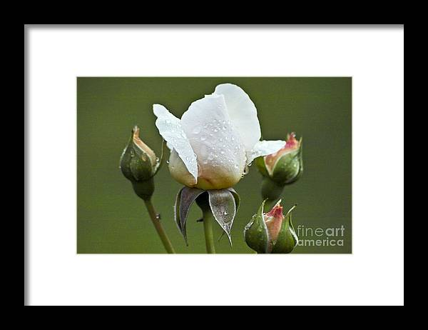 Rose Framed Print featuring the photograph Rose Flower Series 5 by Heiko Koehrer-Wagner