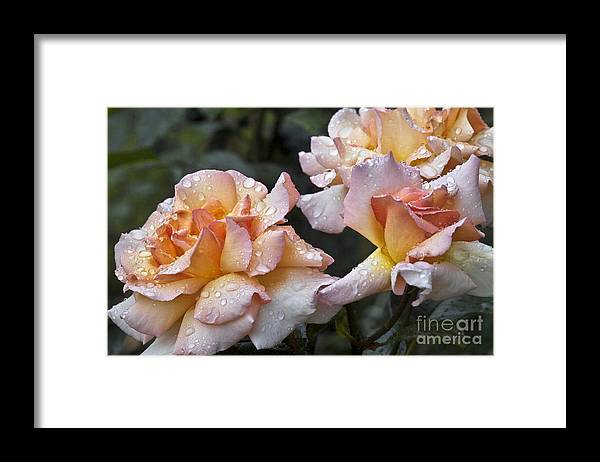 Rose Framed Print featuring the photograph Rose Flower Series 7 by Heiko Koehrer-Wagner