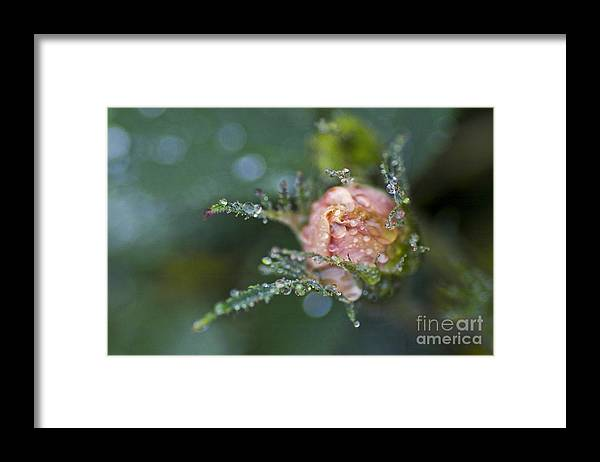 Rose Framed Print featuring the photograph Rose Flower Series 9 by Heiko Koehrer-Wagner