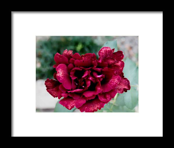 Red Vibrant Dark Rose Framed Print featuring the photograph Rose by Joe Mcgregor