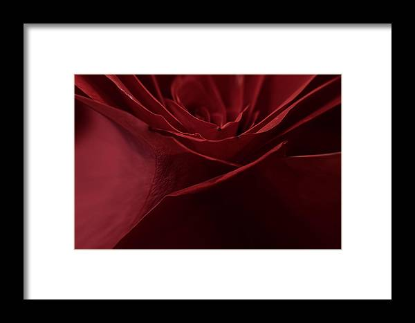 Rose Petals Framed Print featuring the photograph Rose Petals by Mitch Shindelbower