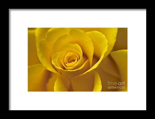 Rose Framed Print featuring the photograph Rose Poetry by Heiko Koehrer-Wagner
