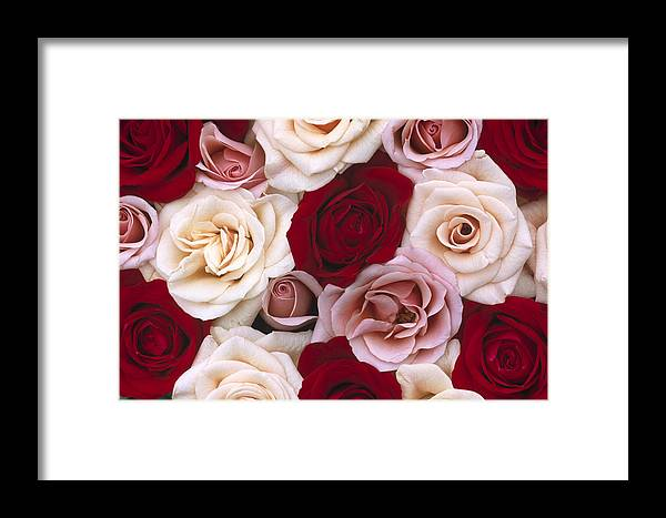 00283568 Framed Print featuring the photograph Rose Rosa Sp Flowers, Close Up Of Many by Jan Vermeer