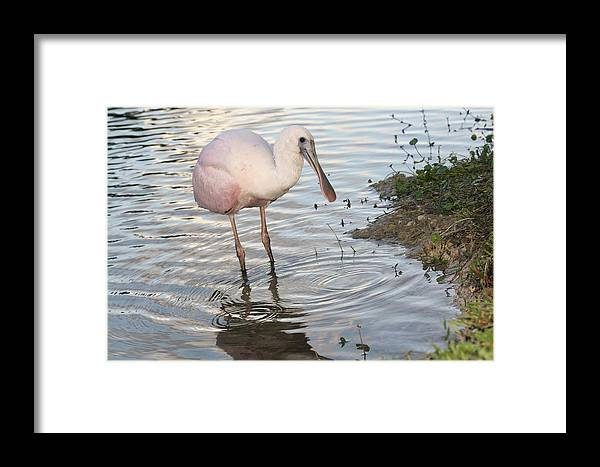 Spoonbill Framed Print featuring the photograph Roseate Spoonbill 2 by Andrea OConnell