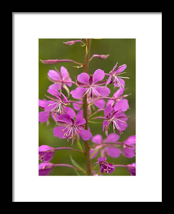 Chamerion Angustifolium Framed Print featuring the photograph Rosebay Willowherb by Bob Gibbons