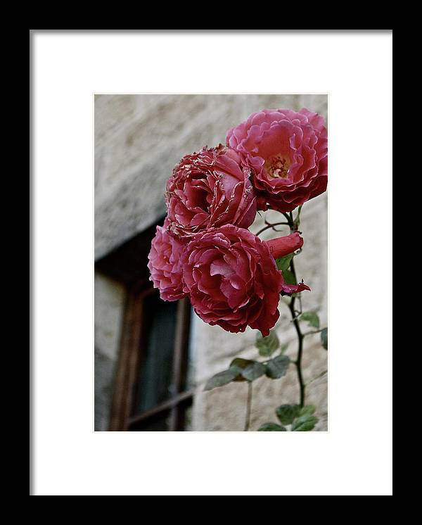 Framed Print featuring the photograph Roses in Napa by Lori Leigh