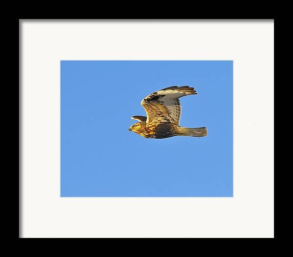 Rough-legged Hawk Framed Print featuring the photograph Rough-legged Hawk by Tony Beck
