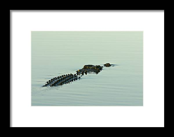 Photography Framed Print featuring the photograph Rows Of Scutes Cover A Saltwater by Jason Edwards