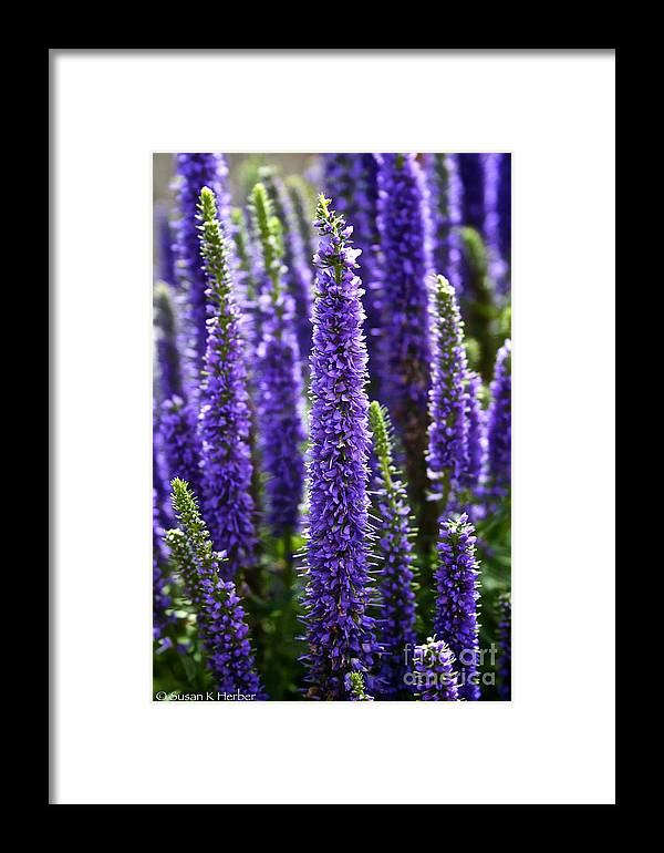 Garden Framed Print featuring the photograph Royal Candles by Susan Herber