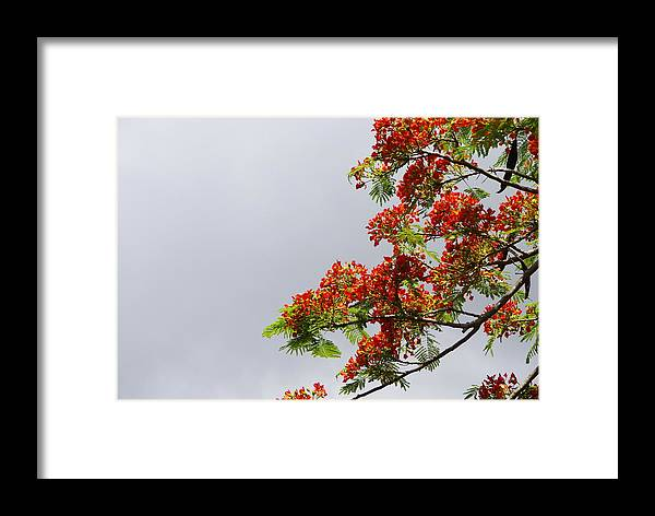 Royal Poinciana Tree Framed Print featuring the photograph Royal Poinciana Tree by Marilyn Wilson
