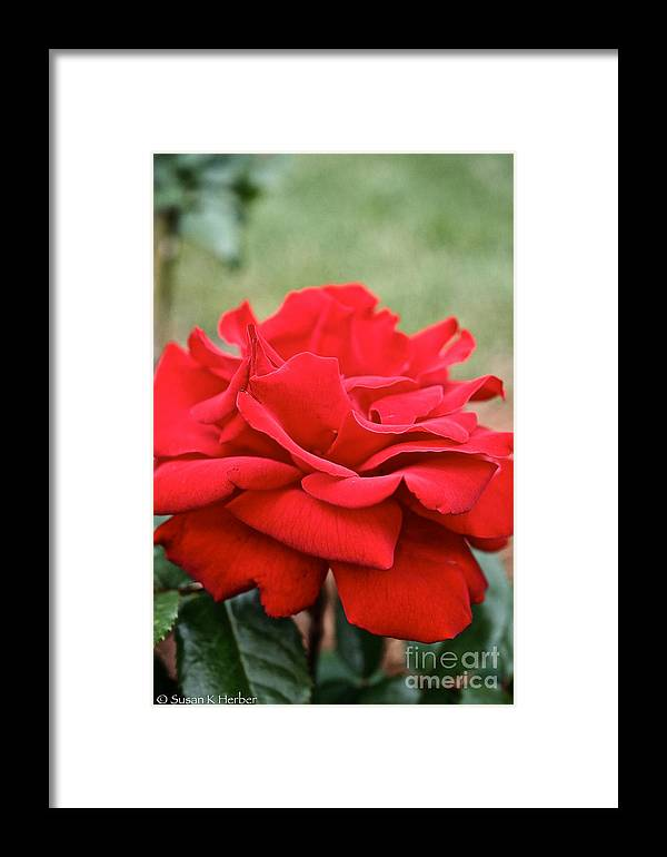 Garden Framed Print featuring the photograph Royal Red Rose by Susan Herber