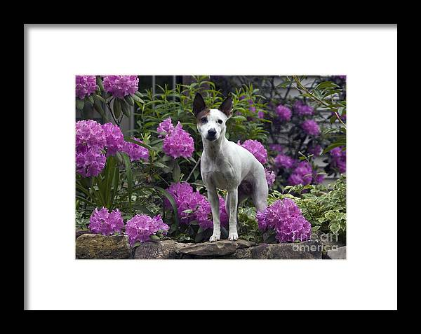 Jack Russell Framed Print featuring the photograph Ruby In The Garden by Denise Dempster