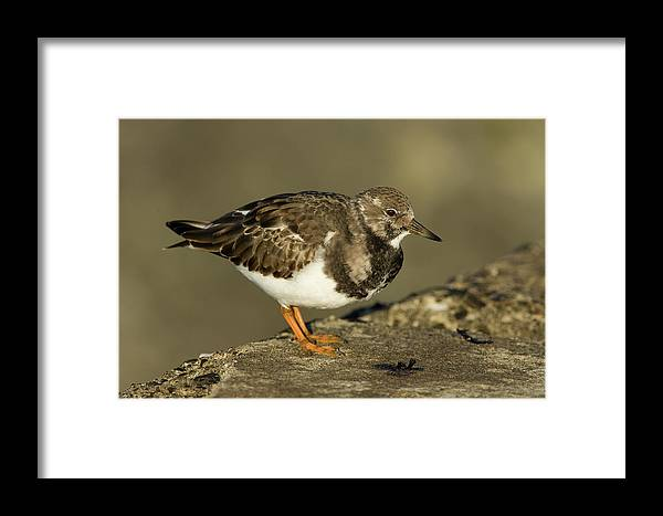 Fn Framed Print featuring the photograph Ruddy Turnstone Arenaria Interpres by Jan Sleurink