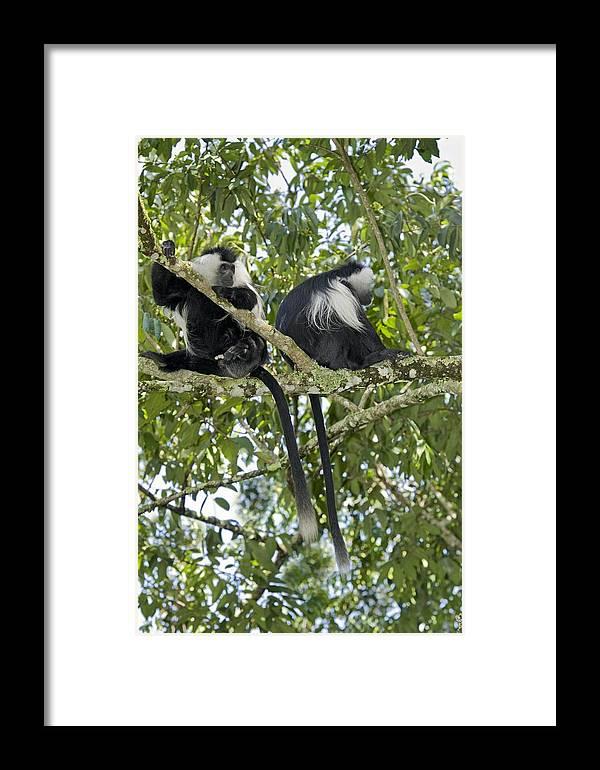 Colobus Angolensis Ruwenzori Framed Print featuring the photograph Ruwenzori Black-and-white Colobi by Tony Camacho