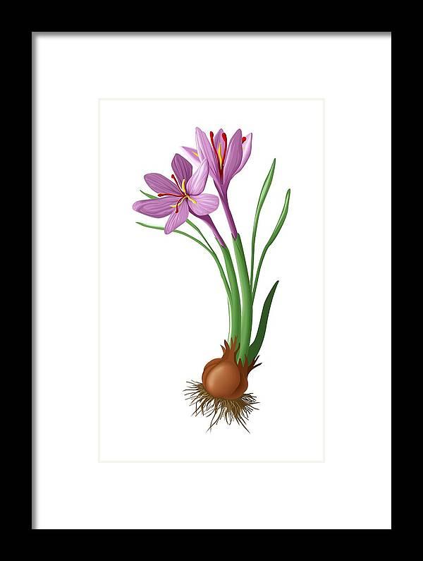 Saffron Framed Print featuring the photograph Saffron Flowers And Bulb by Jose Antonio PeÑas