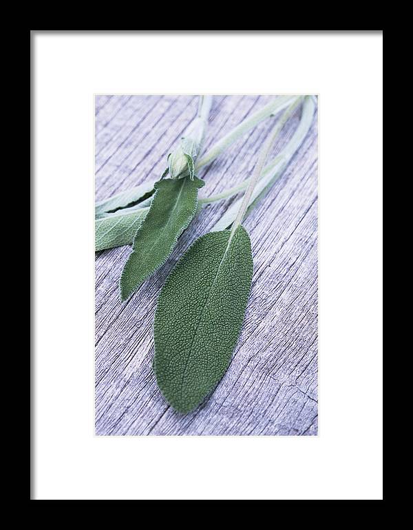 Salvia Officinalis Framed Print featuring the photograph Sage Leaves by Maxine Adcock