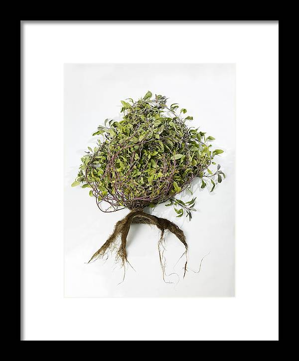 Sage Framed Print featuring the photograph Sage Plant And Roots by Dilston Physic Gardencolin Cuthbert