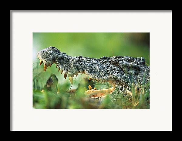 Mp Framed Print featuring the photograph Saltwater Crocodile Crocodylus Porosus by Cyril Ruoso