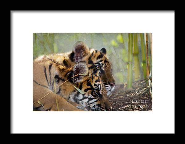 Samatran Tiger Framed Print featuring the photograph Samatran Tiger Cubs by Betty LaRue