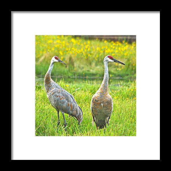 Wildlife Framed Print featuring the photograph Sandhill Crains 7593 by Michael Peychich