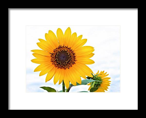 Flower Framed Print featuring the photograph Sassy Sunflower by Elizabeth Budd