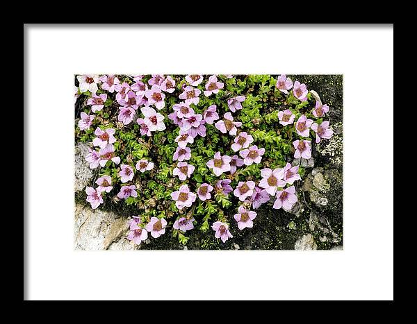 Purple Saxifrage Framed Print featuring the photograph Saxifraga Oppositifolia Flowers by Bob Gibbons