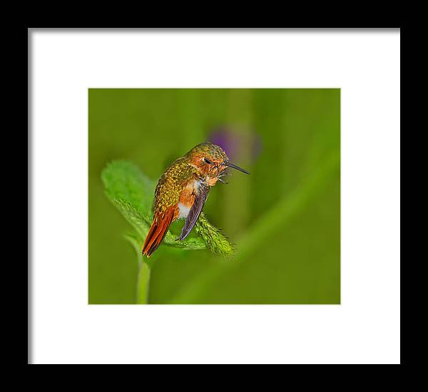 Scintillant Hummingbird Framed Print featuring the photograph Scratch That Itch by Tony Beck