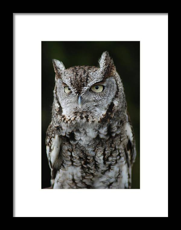 Raptor Framed Print featuring the photograph Screech Owl by Richard Bryce and Family