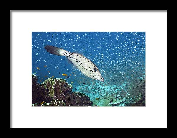 Parapriacanthus Framed Print featuring the photograph Scribbled Filefish by Georgette Douwma
