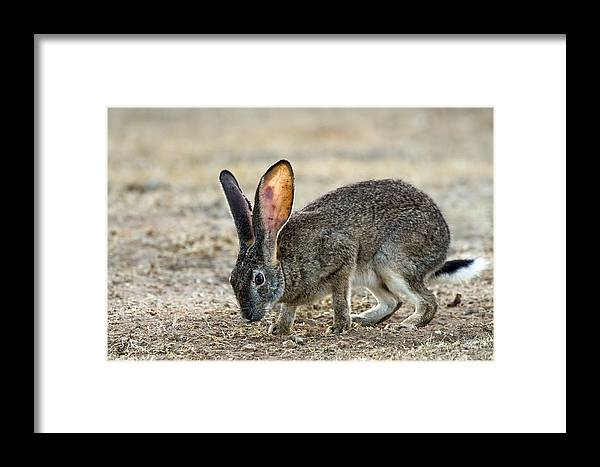 Lepus Saxatilis Framed Print featuring the photograph Scrub Hare by Peter Chadwick