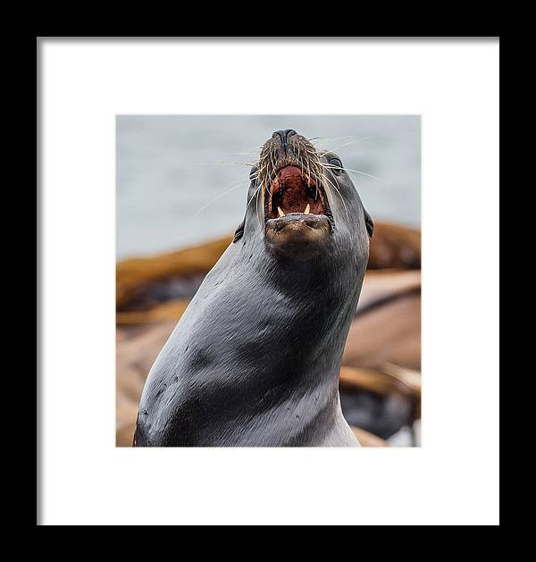 Sea Lion Framed Print featuring the photograph Sea Lion Agony by Greg Nyquist