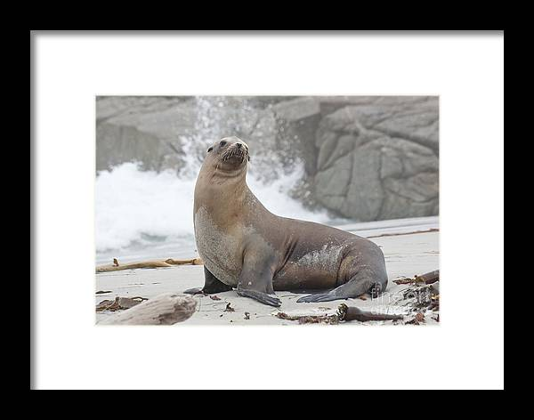 Sea Lion Framed Print featuring the photograph Sea Lion Monterey by Jim And Emily Bush