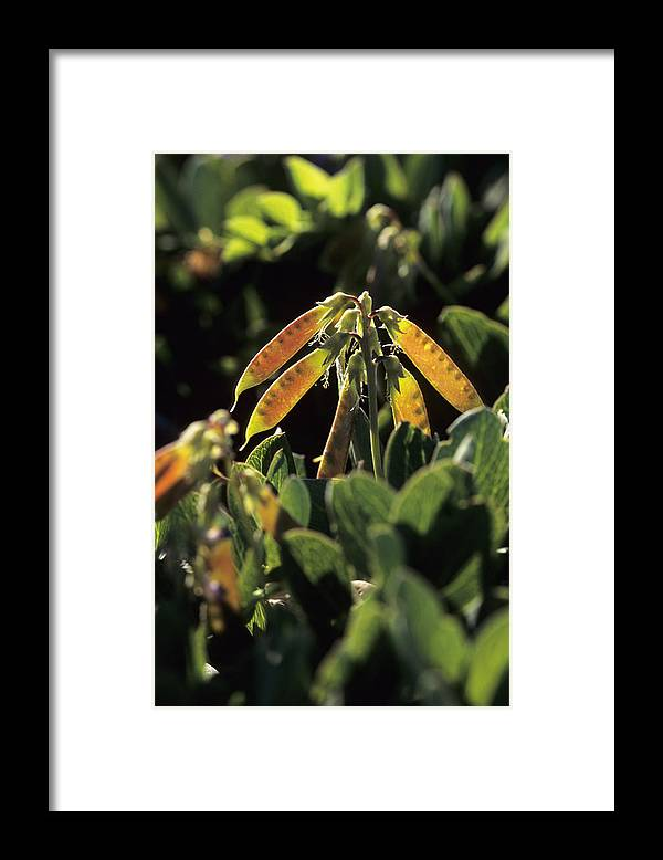 Lathyrus Maritimus Framed Print featuring the photograph Sea Pea (lathyrus Japonicus) by Adrian Bicker