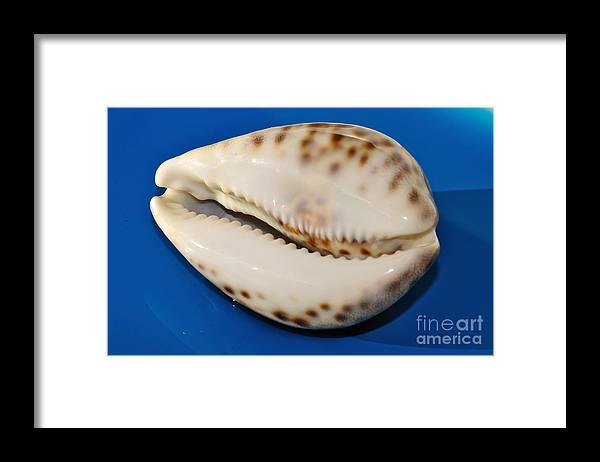 Seashell Wall Art 6 Tiger Cowrie Framed Print By Kaye Menner