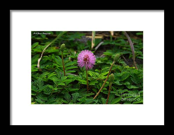 Sensitive Briar Framed Print featuring the photograph Sensitive Briar by Barbara Bowen