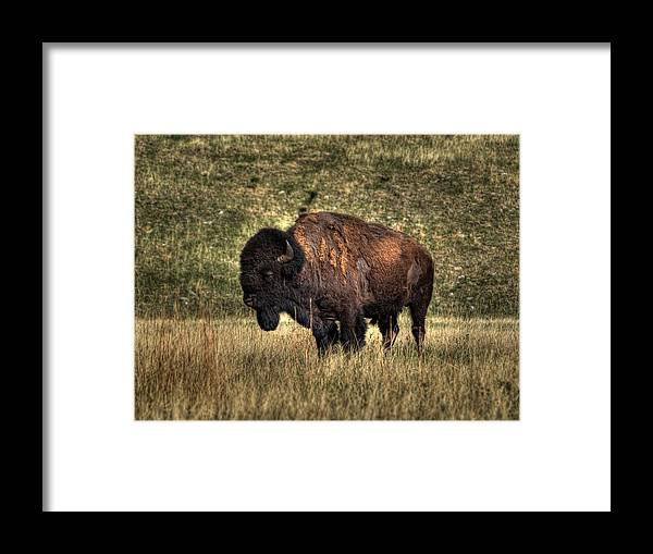 Bison Framed Print featuring the photograph Sentinel by HW Kateley